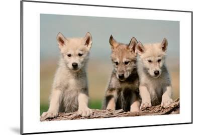Wolf Pups-Lantern Press-Mounted Art Print