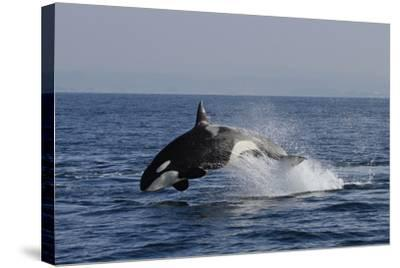 Orca Jumping-Lantern Press-Stretched Canvas Print