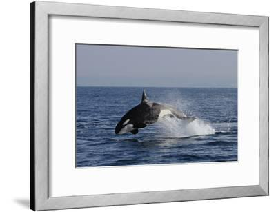 Orca Jumping-Lantern Press-Framed Art Print
