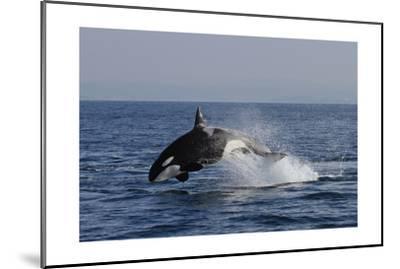 Orca Jumping-Lantern Press-Mounted Art Print
