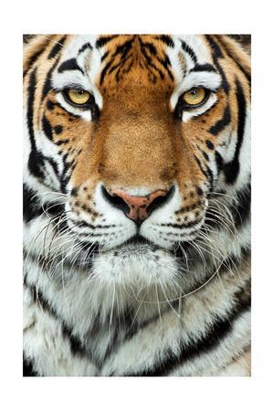 Tiger Up Close-Lantern Press-Framed Art Print