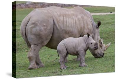White Rhino and Baby-Lantern Press-Stretched Canvas Print