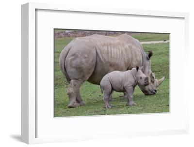 White Rhino and Baby-Lantern Press-Framed Art Print