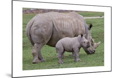 White Rhino and Baby-Lantern Press-Mounted Art Print