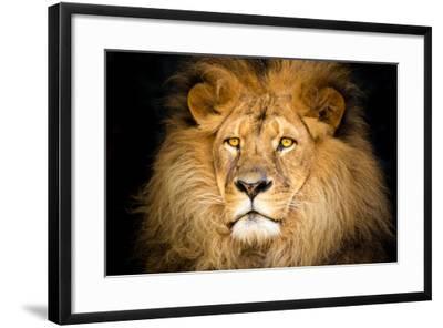 Lion Face-Lantern Press-Framed Art Print