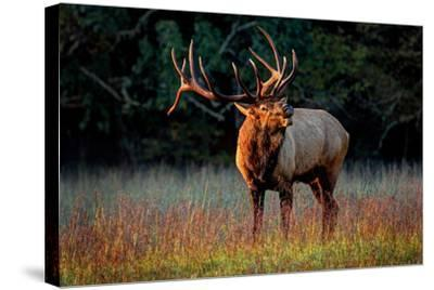 Elk Calling-Lantern Press-Stretched Canvas Print