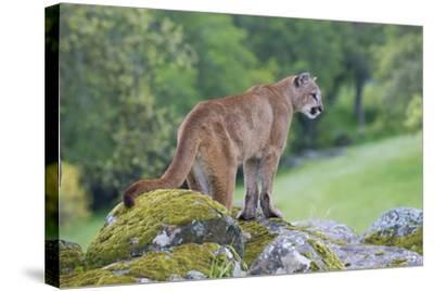 Mountain Lion-Lantern Press-Stretched Canvas Print