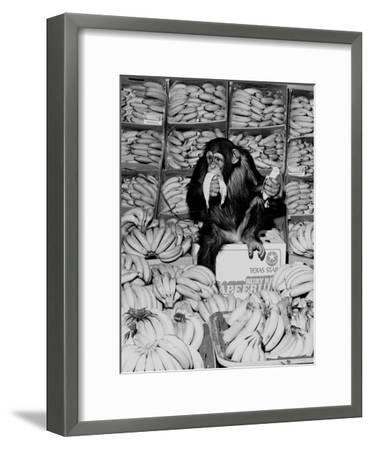A Chimpanzee in Paradise-Staff-Framed Photographic Print