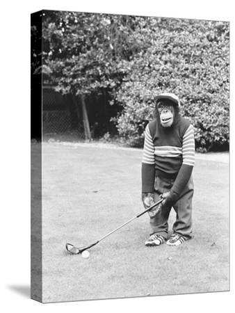 A Chimpanzee playing a round of golf-Staff-Stretched Canvas Print