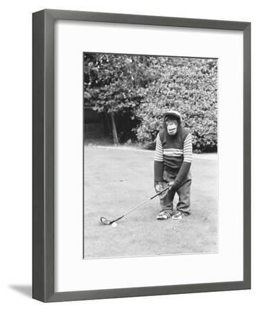 A Chimpanzee playing a round of golf-Staff-Framed Photographic Print