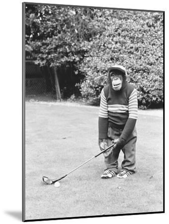 A Chimpanzee playing a round of golf-Staff-Mounted Photographic Print