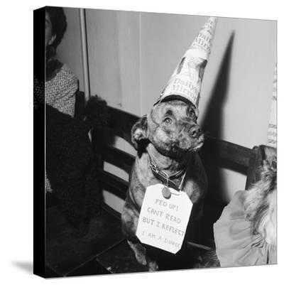 Sally the Dog at Annual Dogs Christmas Party in Bristol, 1958-Maurice Tibbles-Stretched Canvas Print