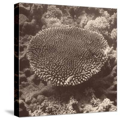 Sepia Barrier Reef Coral II-Kathy Mansfield-Stretched Canvas Print