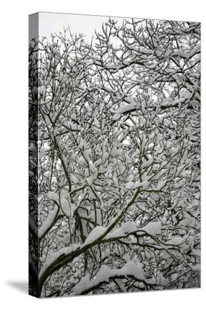 Trees in Snow-Benedict Luxmoore-Stretched Canvas Print