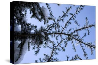 Evergreen Trees in Snow-Benedict Luxmoore-Stretched Canvas Print