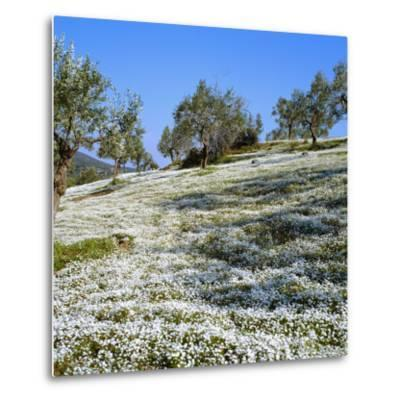 Olives Groves and Wild Flowers, Greece, Europe-Tony Gervis-Metal Print