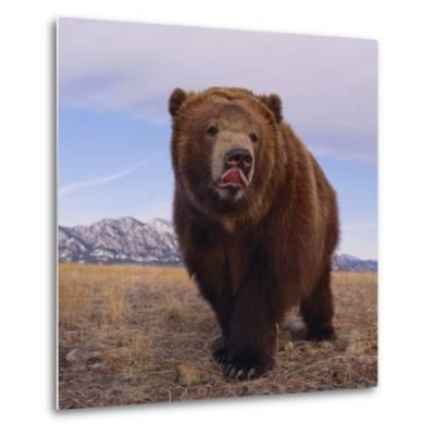 Grizzly Licking Its Chops--Metal Print