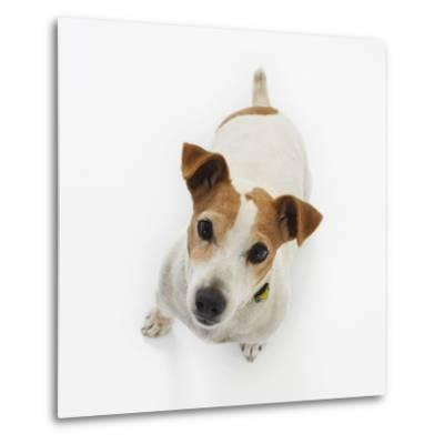 Jack Russell Terrier Looking up-Russell Glenister-Metal Print
