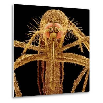 Female Asian Tiger Mosquito-Micro Discovery-Metal Print