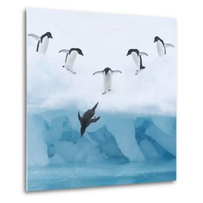 Penguins Jumping into Water-Tim Davis-Metal Print