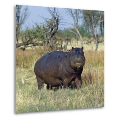 Hippo, with Red-Billed Oxpeckers (Tick Birds), Grazes, Okavango Swamp Edge, Moremi Wildlife Reserve-Nigel Pavitt-Metal Print