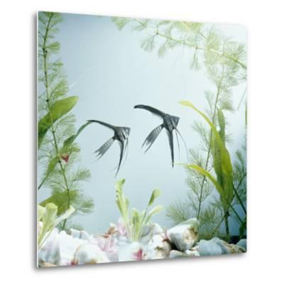 Angelfish Melanic Veiltail 'Black Lace' Variety, from Rivers of Amazon Basin, South America-Jane Burton-Metal Print