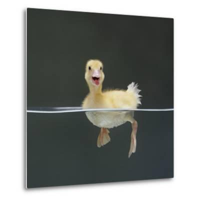 Duckling Swimming on Water Surface, UK-Jane Burton-Metal Print