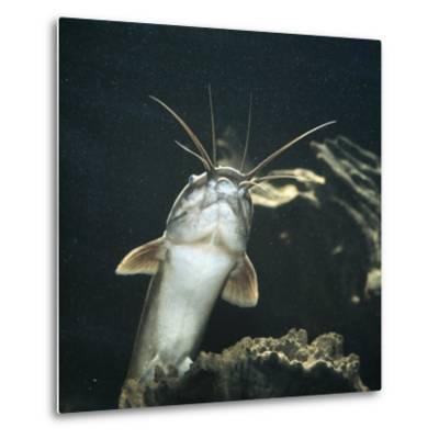Clarias Catfish Showing Barbels-Jane Burton-Metal Print