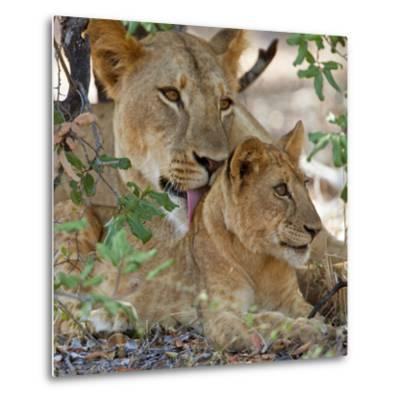 A Lioness and Cub in Selous Game Reserve-Nigel Pavitt-Metal Print