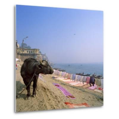 Water Buffalo and Drying Washing on the Banks of the Ganges, Varanasi, Uttar Pradesh State, India-Tony Gervis-Metal Print