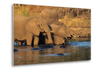 African Elephants Drinking at a Water Hole-Beverly Joubert-Metal Print