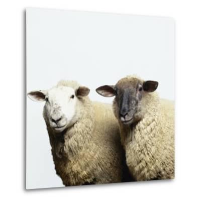 Sheep Standing Side by Side-Adrian Burke-Metal Print