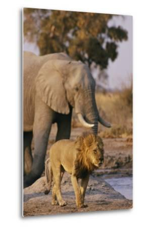 African Elephant and Lion at a Water Hole in Chobe National Park-Beverly Joubert-Metal Print