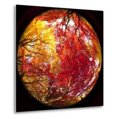 Autumn Foliage of Japanese Maple (Acer) Tree, England, Uk-Jon Arnold-Metal Print