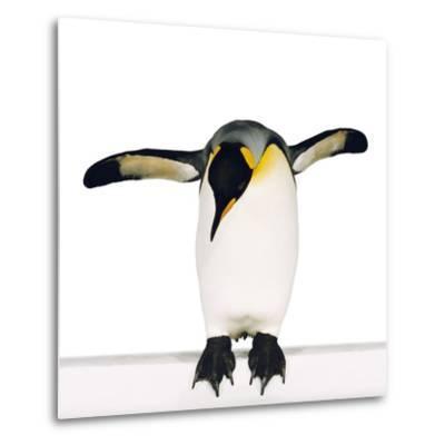 King penguin-Josh Westrich-Metal Print