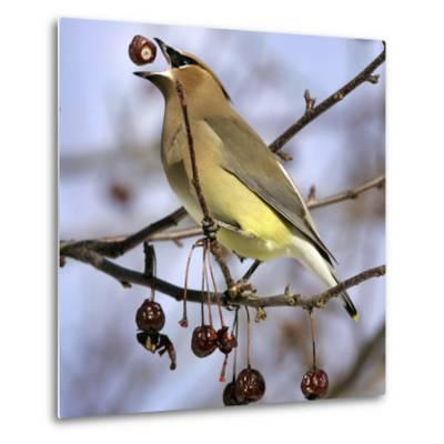 Cedar Waxwing Tosses Up a Fruit from a Flowering Crab Tree at the Town Hall--Metal Print
