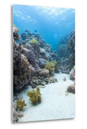 Coral Reef Scene Close to the Ocean Surface, Ras Mohammed Nat'l Pk, Off Sharm El Sheikh, Egypt-Mark Doherty-Metal Print
