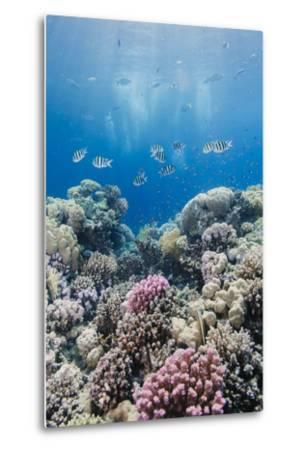Hard Coral and Tropical Reef Scene, Ras Mohammed Nat'l Pk, Off Sharm El Sheikh, Egypt, North Africa-Mark Doherty-Metal Print
