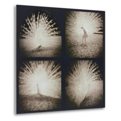 White Peacock Four times-Theo Westenberger-Metal Print