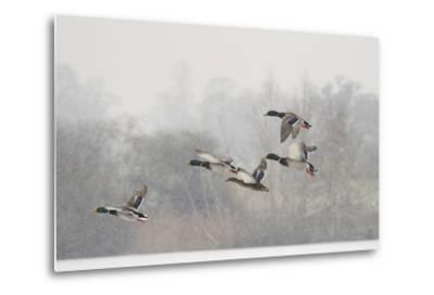 Four Mallard Drakes and a Duck Flying over Frozen Lake in Snowstorm, Wiltshire, England, UK-Nick Upton-Metal Print