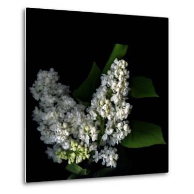 White Lilac 9-Magda Indigo-Metal Print