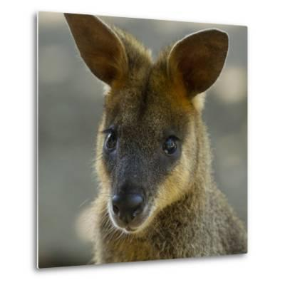 Portrait of a Wallaby-Michael Melford-Metal Print