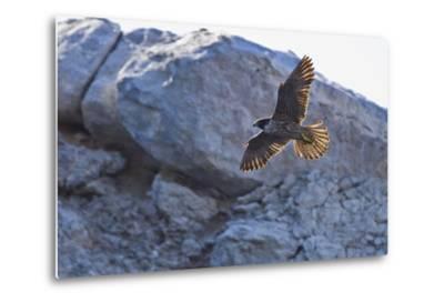Adult Peregrine Falcon (Falco Peregrinus), Isla Rasa, Gulf of California, Baja California, Mexico-Michael Nolan-Metal Print