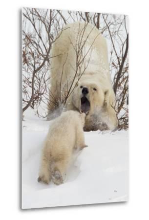 Polar Bear (Ursus Maritimus) and Cub, Wapusk National Park, Churchill, Hudson Bay, Manitoba, Canada-David Jenkins-Metal Print