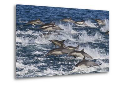 Long-Beaked Common Dolphin (Delphinus Capensis) Pod, Isla San Esteban, Gulf of California, Mexico-Michael Nolan-Metal Print
