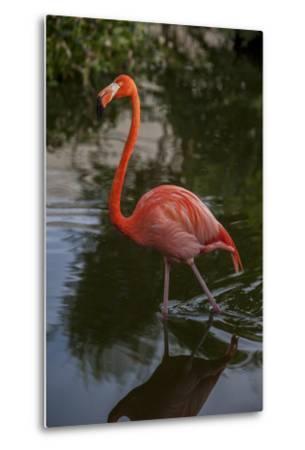 Pink Flamingo, Bavaro, Higuey, Punta Cana, Dominican Republic-Lisa S^ Engelbrecht-Metal Print
