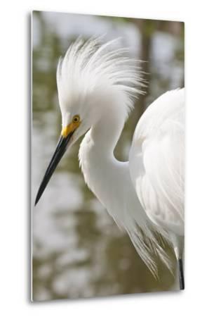 Snowy Egret Bird, Everglades, Florida, USA-Michael DeFreitas-Metal Print