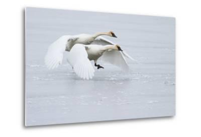 A Pair of Trumpeter Swans Taking Off on a Frozen Creek-Greg Winston-Metal Print