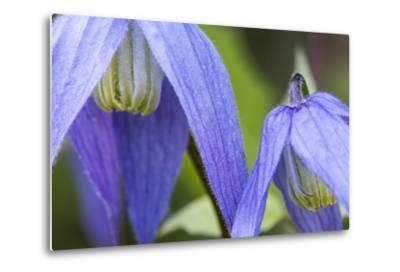 Blue Clematis Flowering in Spring in Bigfork, Montana, USA-Chuck Haney-Metal Print