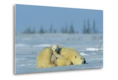 A Sleepy Polar Bear Mother (Ursus Maritimus) Serves As a Protective Bed for Her Cub-Norbert Rosing-Metal Print